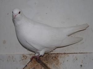 Konijnen en Duiven 008 - Witte duif