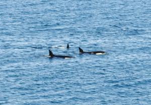 Safari boven de poolcirkel 2015 673 - Orka's
