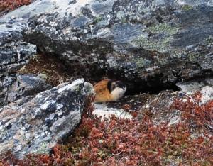 Safari boven de poolcirkel 2015 805 - Hamster