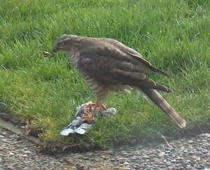 Sperwer eet duif