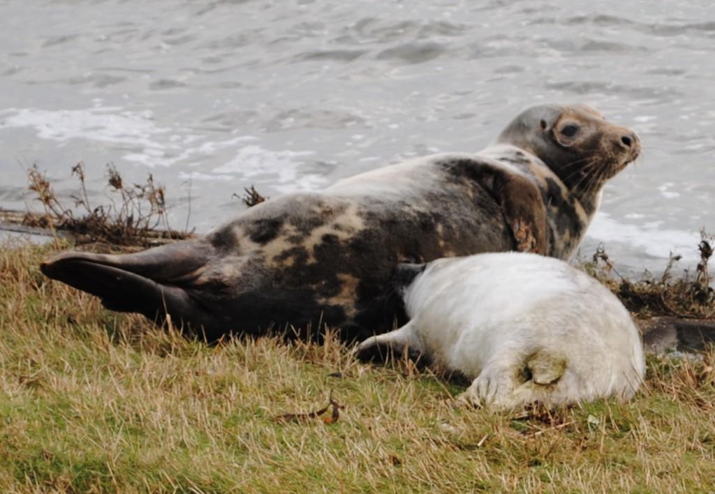 Vlieland december 2012 147 - zeehond met jong - groot